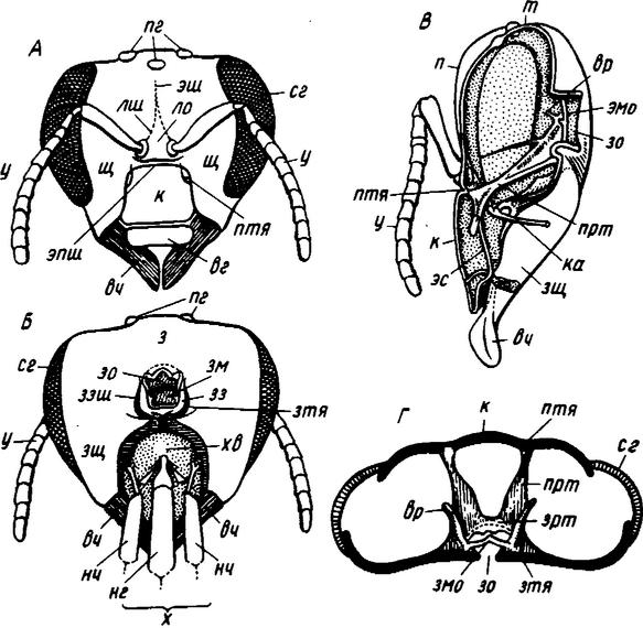 Строение головы рабочей пчелы